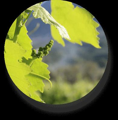 dettaglio della vigna nell'agriturismo a Benevento Pietreionne